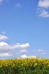 champ de colza sous un ciel de printemps
