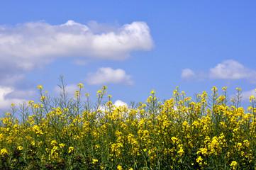 fleurs de colza sous un ciel de printemps