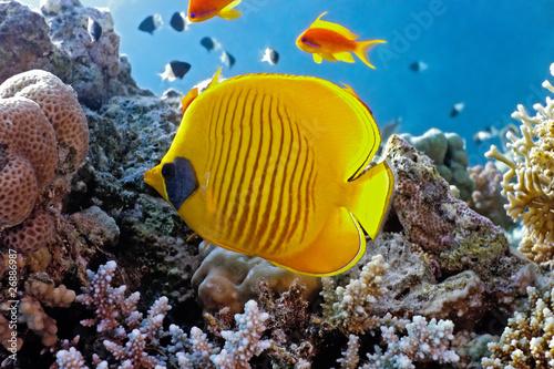 Coral sceny z ryb motyla