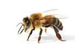 Leinwandbild Motiv Westliche Honigbiene