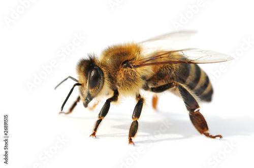 Tuinposter Bee Westliche Honigbiene