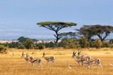 Fototapety Grant's gazelles