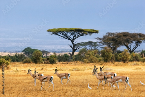 Canvas Afrika Grant's gazelles