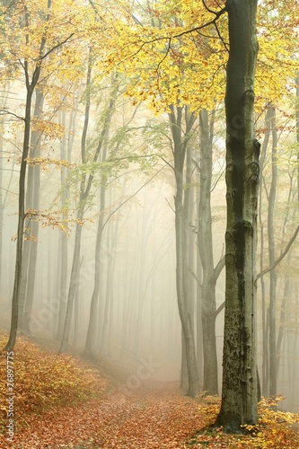 Path in misty autumn beech forest in a nature reserve © joda