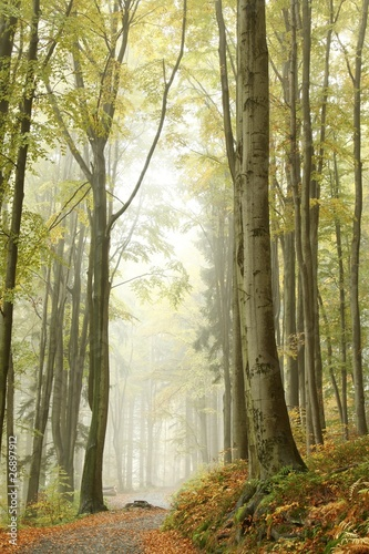 Misty autumn beech forest on the slope in a nature reserve