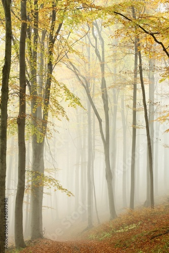 Misty autumn beech forest in a nature reserve © joda
