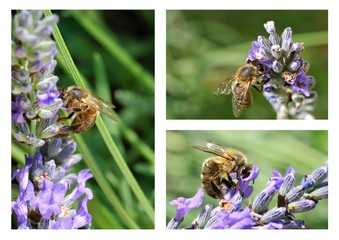 composition abeille lavande