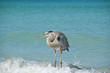 Great Blue Heron Crouching on a Gulf Coast Beach