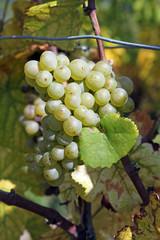 Weinanbau - Weintrauben am Rebenstock