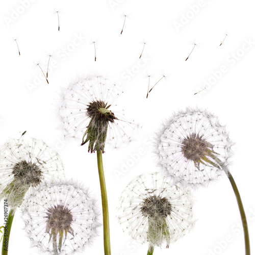 group of isolated dandelions - 26907374