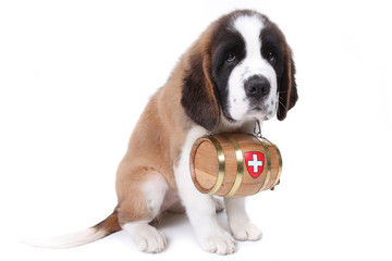 A Saint Bernard puppy with rescue barrel around the neck