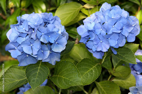 Foto op Plexiglas Hydrangea Ortensia azzurra
