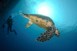 One Male hawksbill turtle. Red Sea, Egypt.