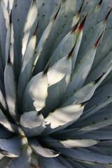 Kaktuspfeile