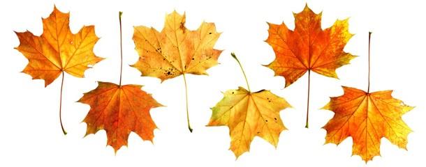 Ahornblätter A. platanoides | autumn maple leaves