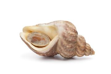 Closed fresh raw common whelk