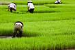 Culture du riz - Rizière