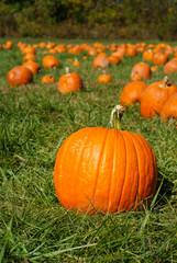 Orange pumpkins on green grass field in pumpkin patch