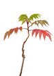 Japanese Maple Acer Sapling Vivid Colors Isolated on White Backg