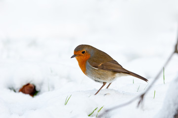 Winter Robin Profile View in Snow with Green Shoots