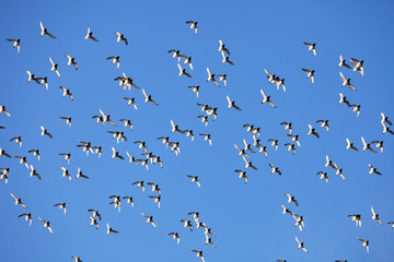 Flock of birds against a blue sky
