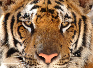 full frame of magnificent bengal tiger, thailand, asia lion leop