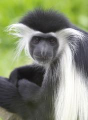 Black and white colobus monkey close up, kenya, africa
