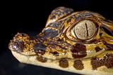 Fototapete Rainforest - Auge - Reptilien / Amphibien