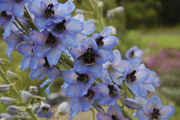 Bumblebee on Blue Delphinium flowers