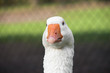 Closeup of a Goose
