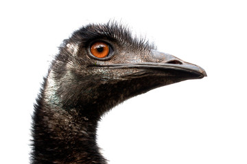 Emu with a white background