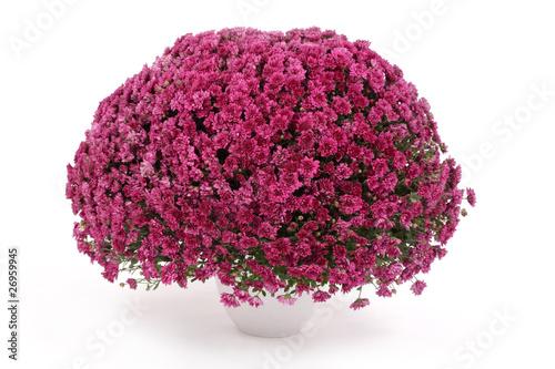 Papiers peints Roses potée de chrysanthèmes mauves