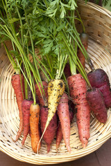 A bunch of multi colored organic carrots in a basket.
