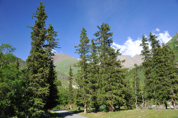 Summer in mountains and fur-trees