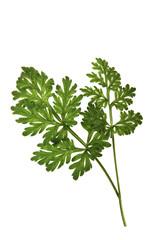 Wermutpflanze Absinth
