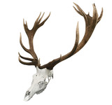 17 Point Mounted Sika Stag Horns