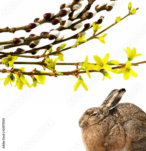 hare and spring flowering buds