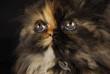 persian kitten portrait