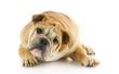 bulldog puppy laying down
