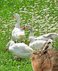 geese and hare spring animals