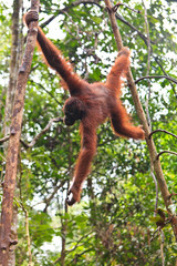 Female orang utan hanging in a tree
