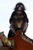 Dusky leaf monkey sitting in a roof gutter poster