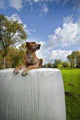 Hund Strohballen