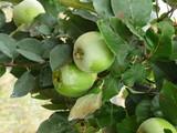 coings verts sur l'arbre