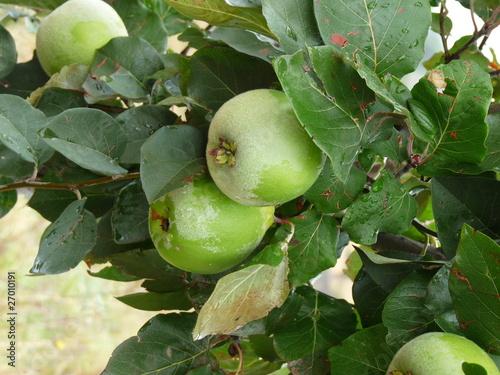 coings verts sur l 39 arbre de herbac photo libre de droits 27010191 sur. Black Bedroom Furniture Sets. Home Design Ideas