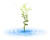 Bambou dans l'eau