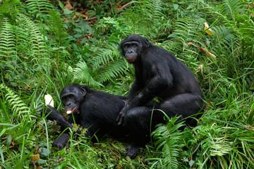 Bonobo mating.