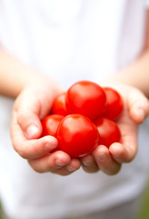 A Child's Hands Holding Ripe Vine Tomatoes