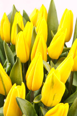 beautiful yellow tulips