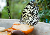 white Tree Nymph butterfly feeding on apple in captivity. poster